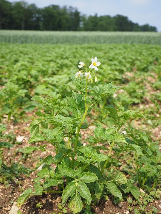 картофено растение