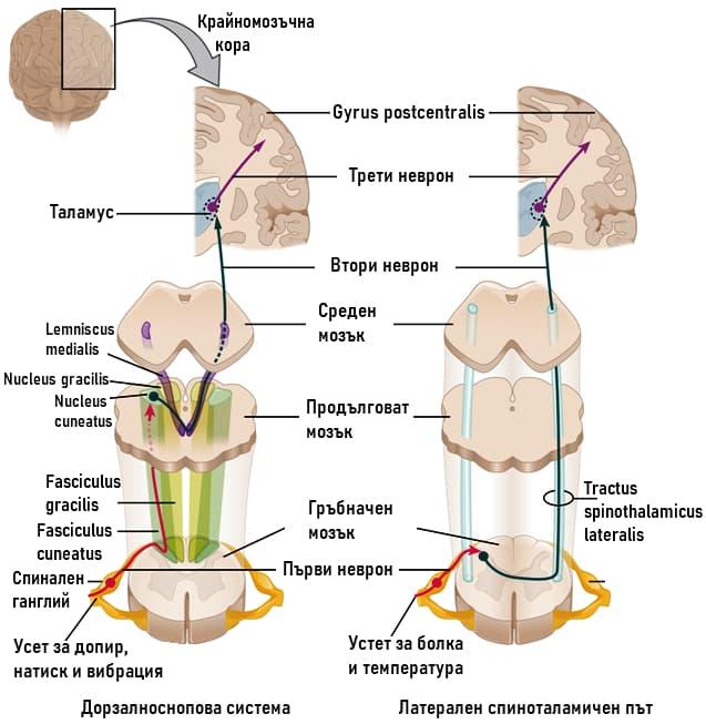 Системи на повърхностната, болковата и температурната сетивност