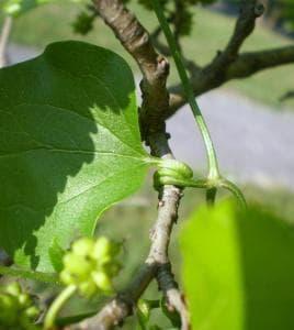 листна дръжка на обикновен повет
