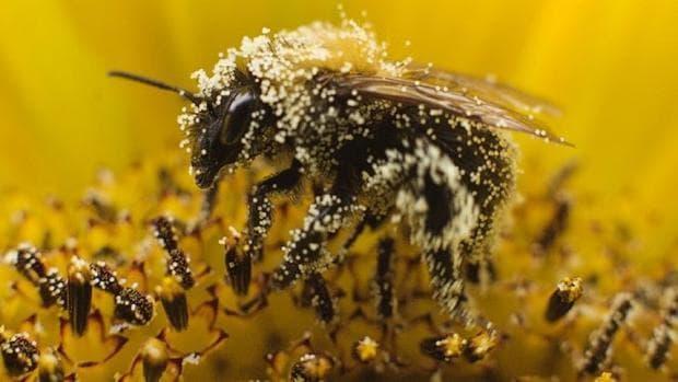 Пчелен прашец по пчела