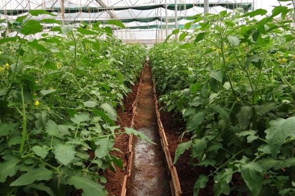 Правилно поливайте доматите, които отглеждате в оранжерия.