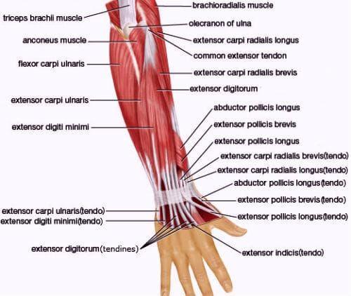 мускули на предмишницата - доразално
