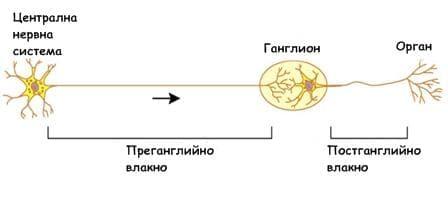 нервони на ВНС