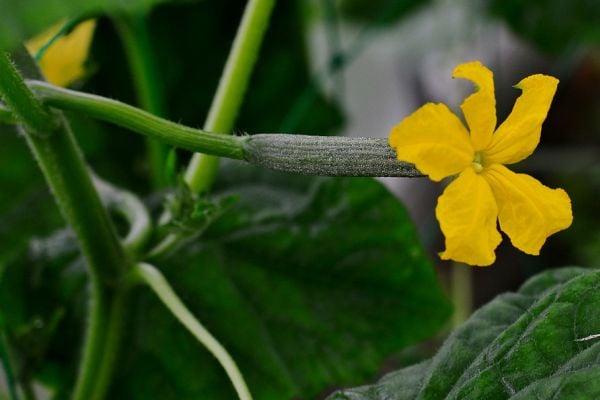 Премахнете страничните издънки, за да получите по-богата реколта от краставици.