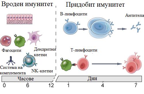 вроден и придобит имунитет