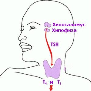 Тиреостимулиращ хормон