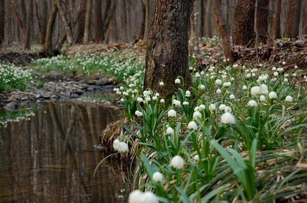 разпространение на пролетно блатно кокиче