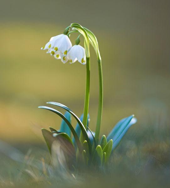 пролетно кокиче блатно
