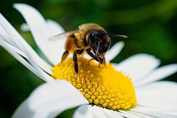 прополис,пчела