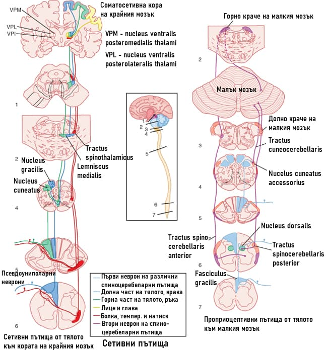 Проприоцептивни пътища