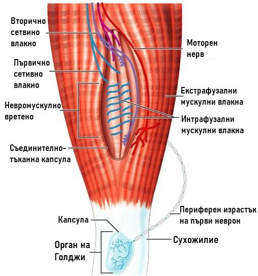 Проприоцептивни рецептори