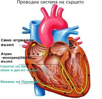 Проводна система на сърце