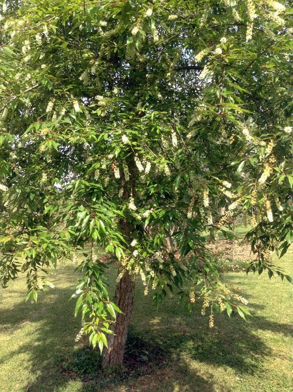 пигеум дърво