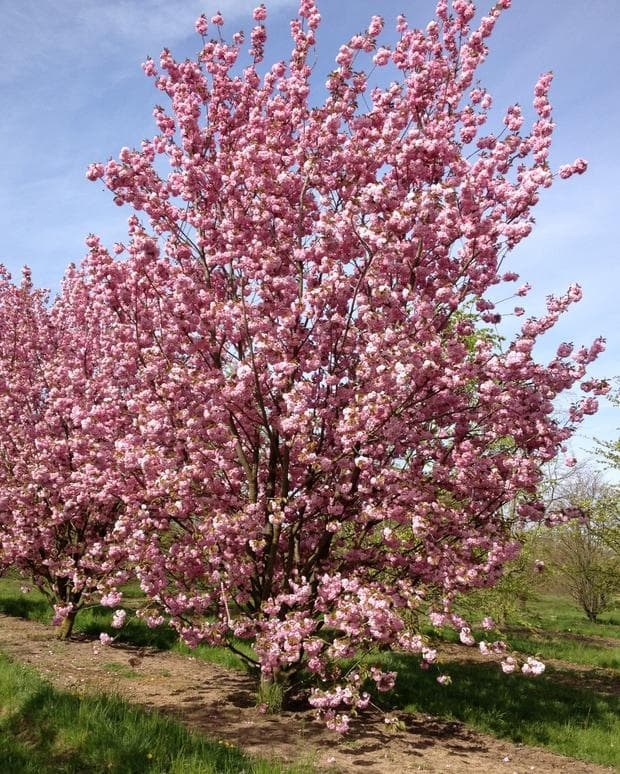 дърво прунис серулата