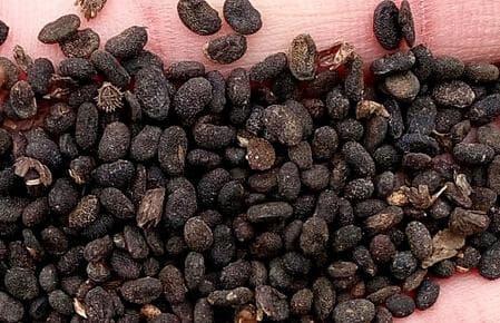 псоралея семена