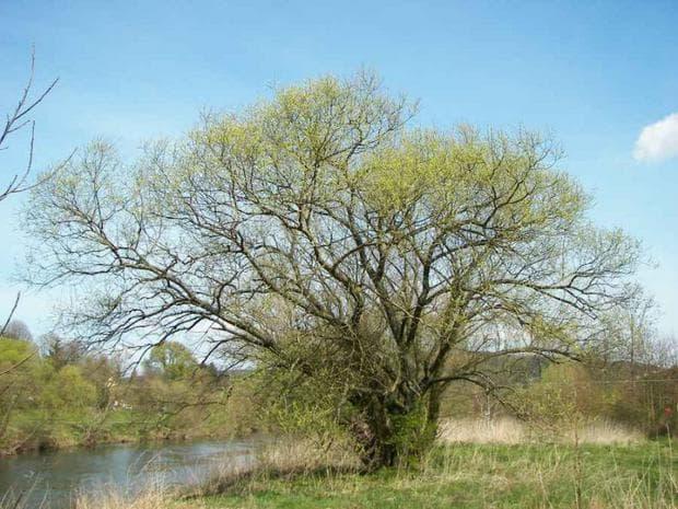 дърво пуерария мирифика
