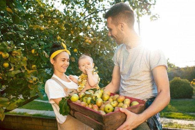 Отглеждане на домашно ябълково дърво от семка за получаване на богата реколта екологично чисти плодове.