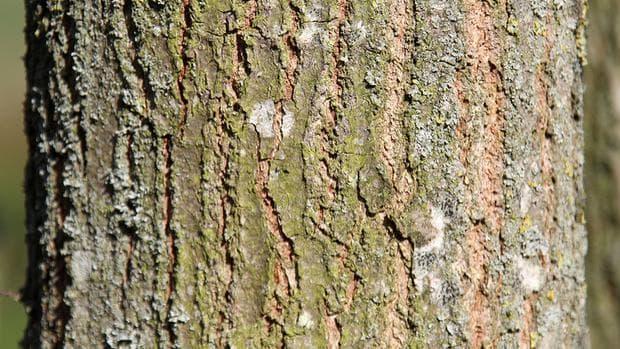 кора на скален дъб