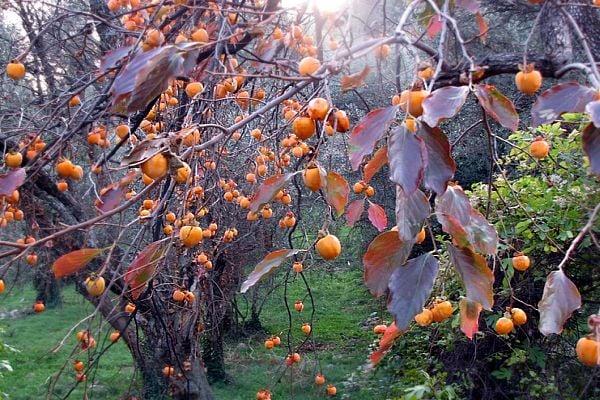 райска ябълка