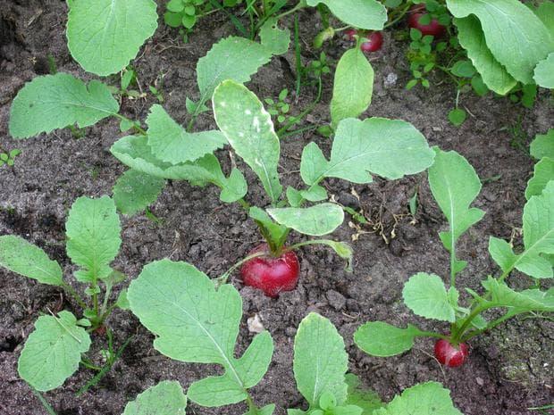 репичка растение
