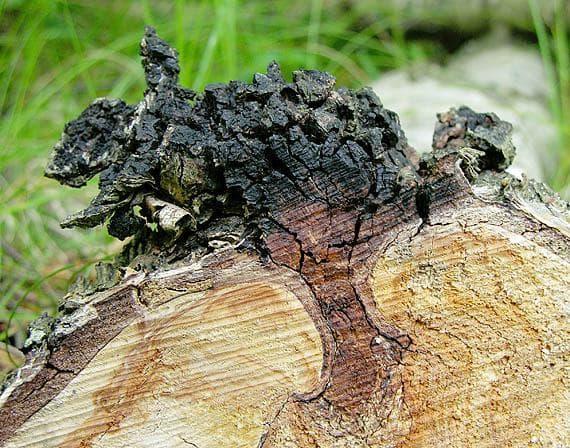 растеж на чага в дълбочина на дървесния субстрат