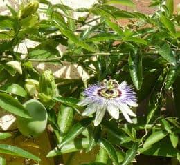 зелен плод маракуя