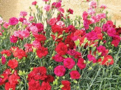 различни цветове градински карамфил