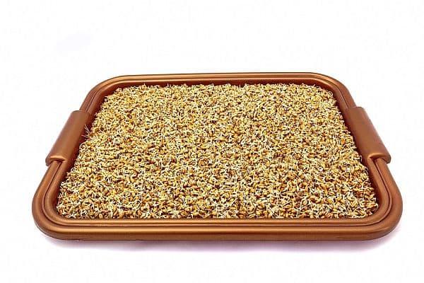 покълнали пшенични зърна