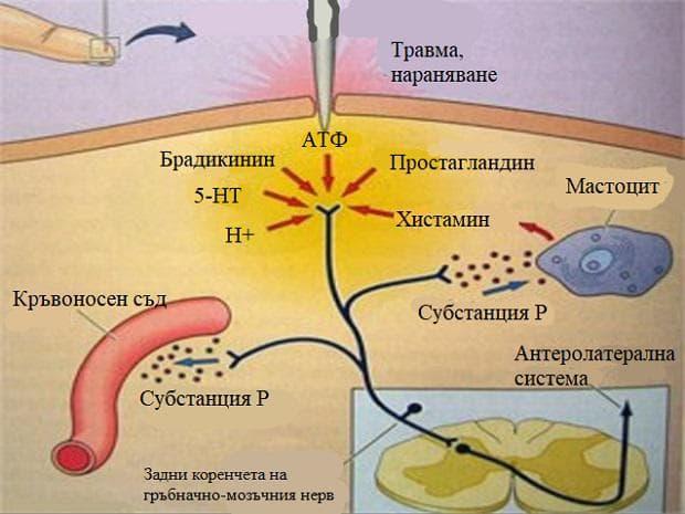 болкови рецептори