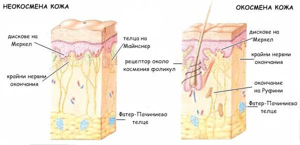 рецептори в неокосмената и окосмената кожа
