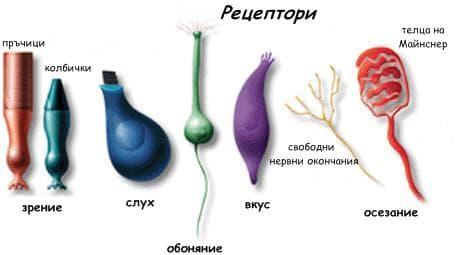 естрогени и рецептори