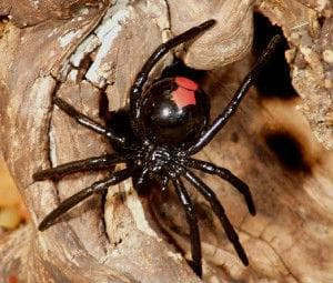 Червеногръб паяк