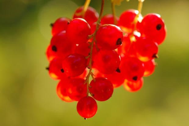 плод на червен касис