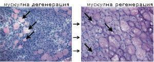 регенерация на мускулна тъкан