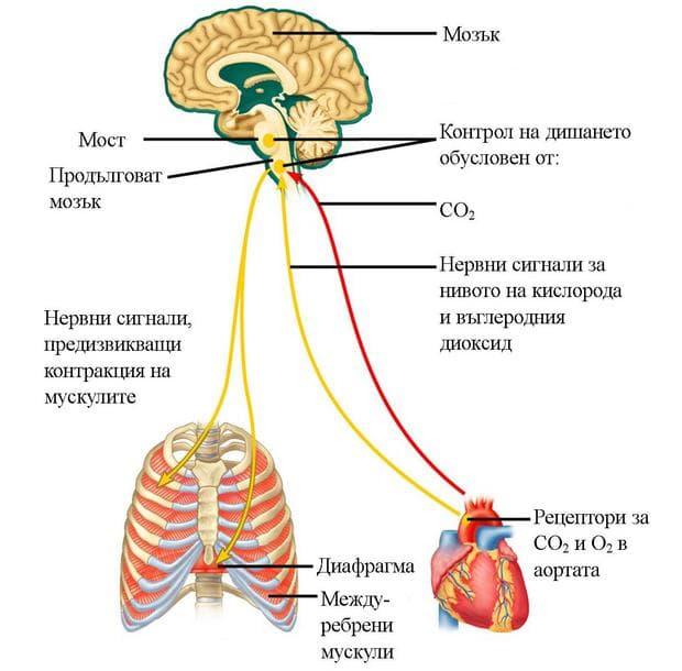 регулация на дишането