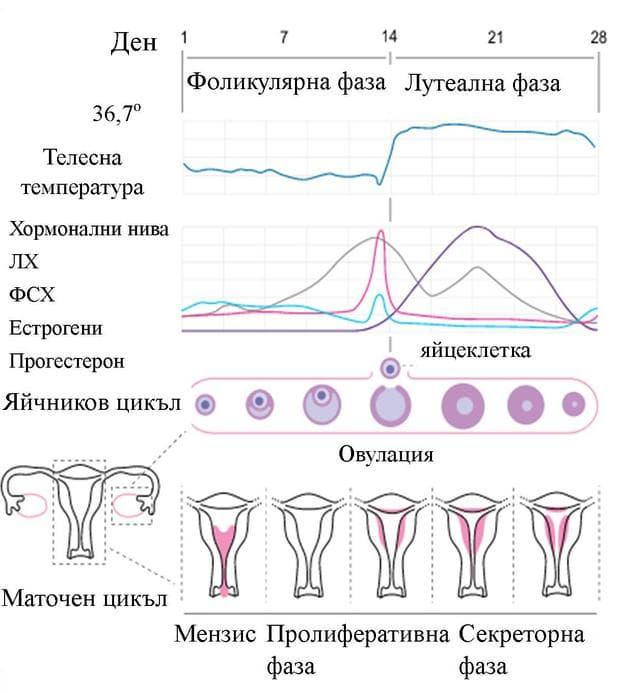 съпоставка между яйчников и маточен цикъл