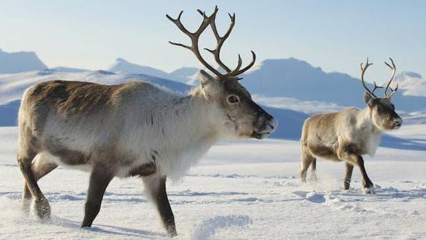 Северни елени
