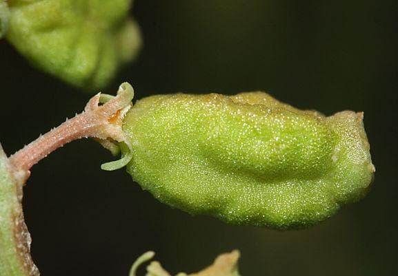 плод на бойка