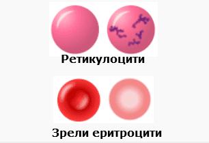 ретикулоцити и еритроцити