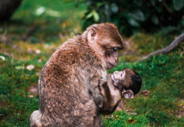 Макак резус с бебето си в дивата природа