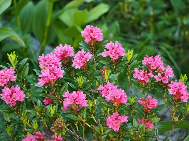 цветове и листа на алпийска роза
