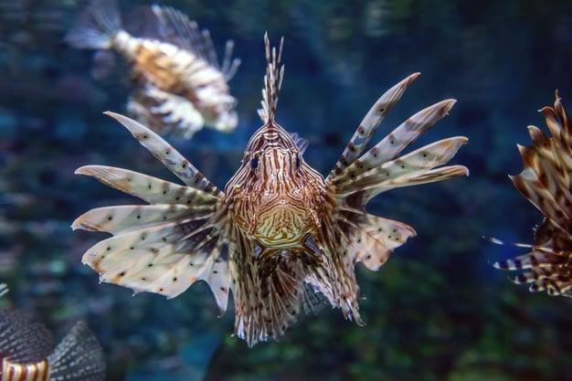 Лъвска риба