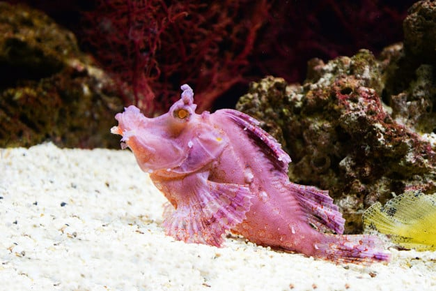 Риба скорпион