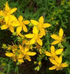 Рискови взаимодействия между лекарства и добавки, съдържащи жълт кантарион