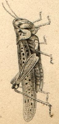 Прелетен скакалец, рисунка