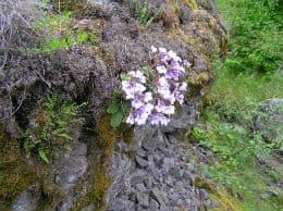 разпространение на орфеево цвете