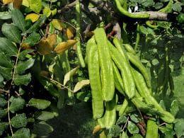 зелени шушулки на рожков