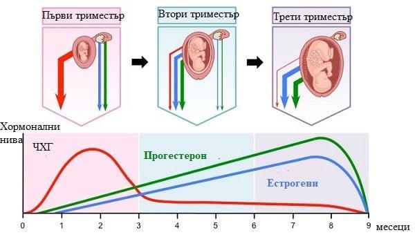 роля на плацентата в хормоналната регулация на бременността