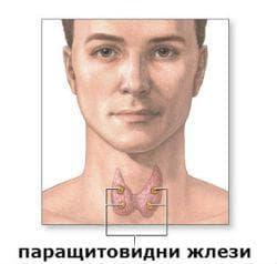 Роля на паращитовидните жлези и секретирания от тях паратхормон
