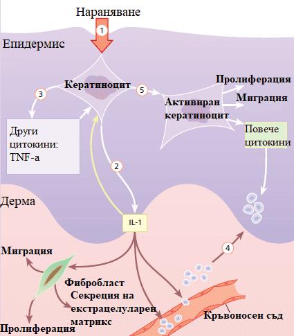 роля на кератиноцитите в зарастването на рани